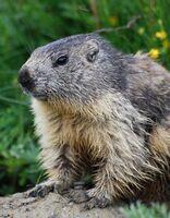 Petit déjeuner face aux marmottes