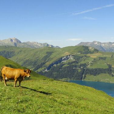 © Vache en alpage au-dessus de Roselend - <em>DD - fondation-facim.fr</em>