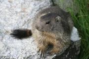 © savoie-parc-national-vanoise-marmotte - <em>MO. Arc en ciel photos - OT AUSSOIS</em>